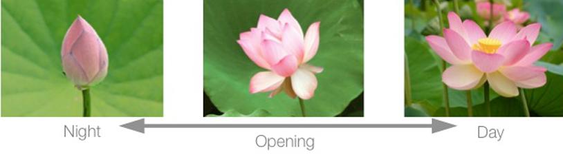 lotus timelapse